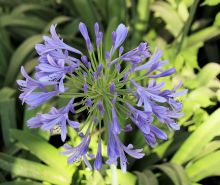 Purple agapanthus in the garden at Casa Mosaica