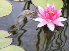 Frog in the lily pond at Casa Mosaica