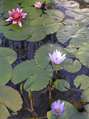Waterlilies in the pond at Casa Mosaica