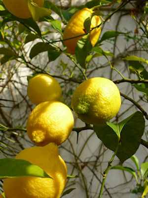 Lemon tree in the garden at Casa Mosaica